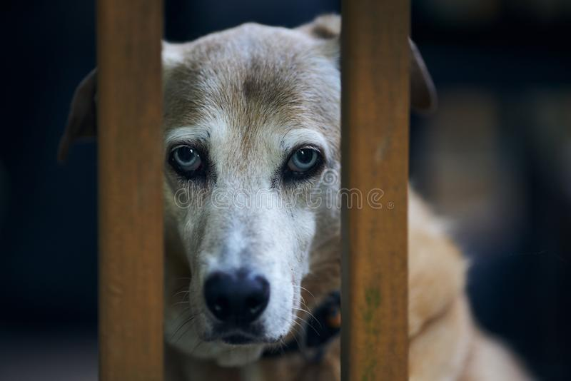 A Catahoula Cur stares at the viewer. A Catahoula Cur Louisiana Leopard Dog stares intently at the viewer through a railing royalty free stock photo