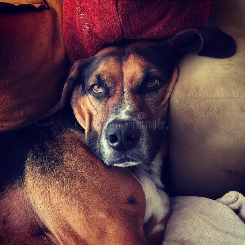 Catahoula Lounging royalty free stock photography
