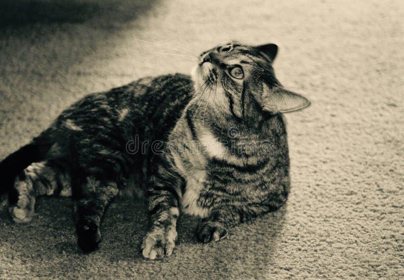Cataire Kitty photo libre de droits