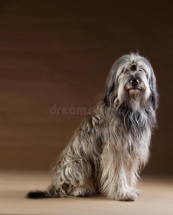 Catalan fårhundstående royaltyfri bild