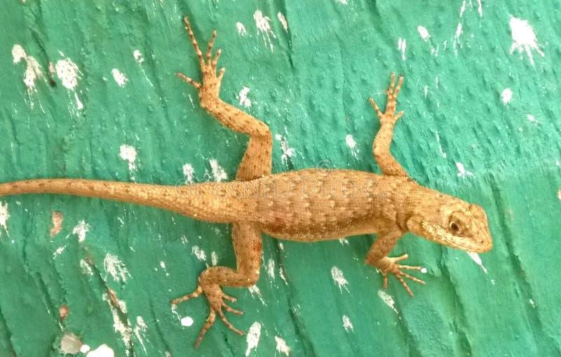 Catalan Lizard stock photos