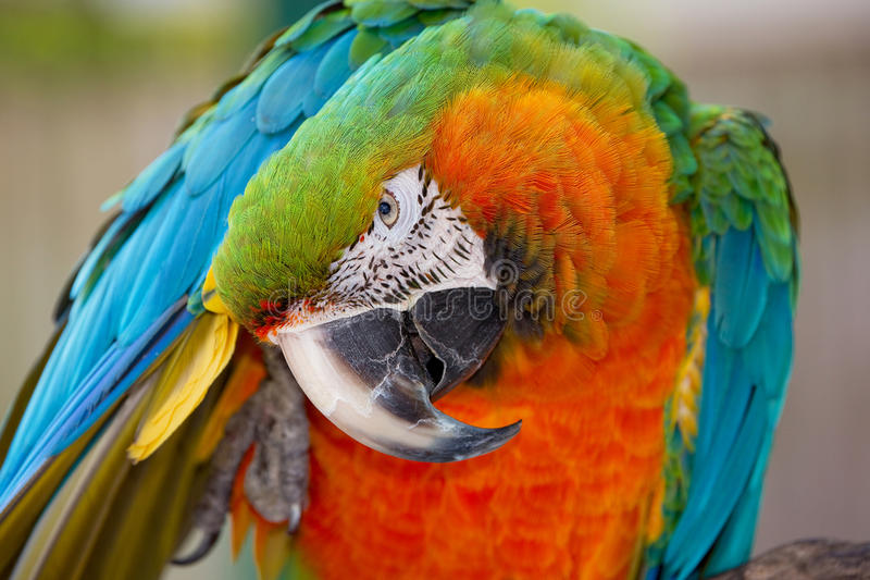 Catalina Macaw στοκ εικόνες με δικαίωμα ελεύθερης χρήσης