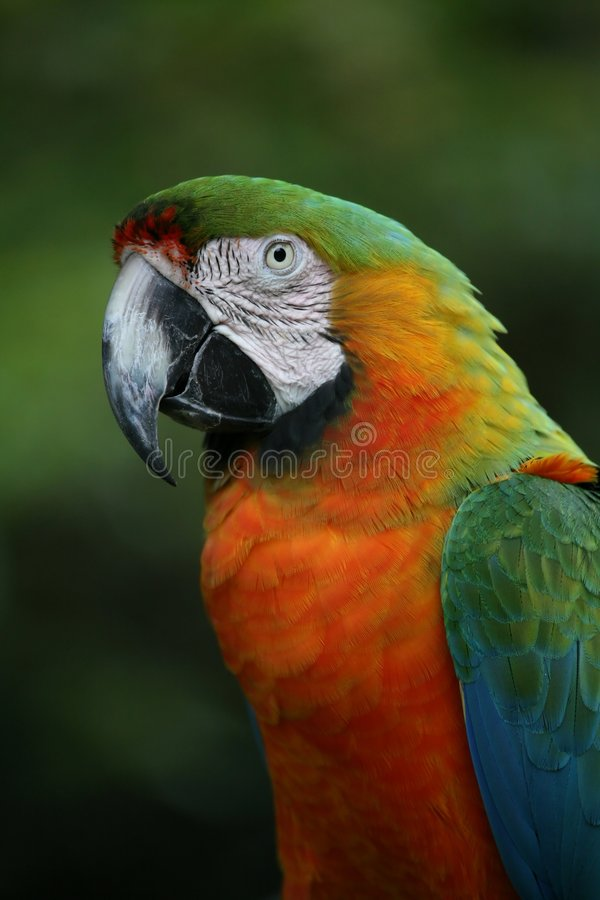 Catalina Macaw. A portrait of a catalina macaw stock image