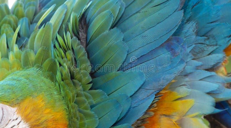 Catalina Macaw Hybrid μεταξύ ερυθρού Macaw και μπλε και κίτρινου Macaw στοκ εικόνα με δικαίωμα ελεύθερης χρήσης