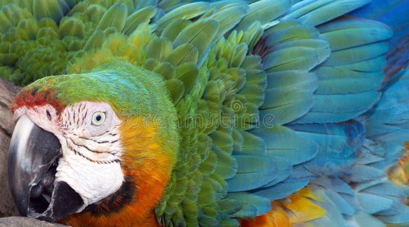 Catalina Macaw Hybrid entre l'ara d'écarlate et l'ara bleu et jaune images libres de droits