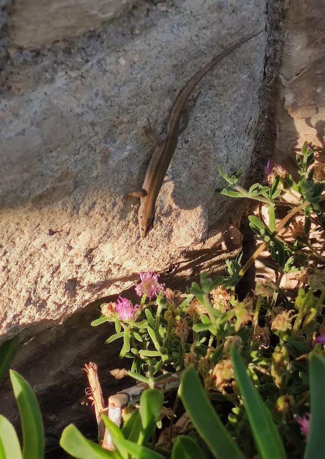 Catalonian Wall Lizard stock images
