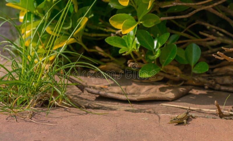 Catalonian Wall Lizard in a garden royalty free stock photo