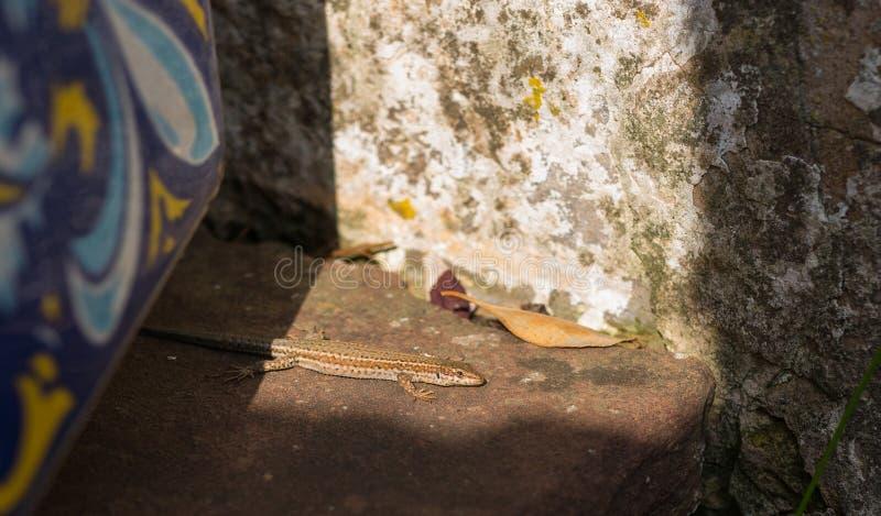 Catalonian Wall lizard basking on flat stones stock photo