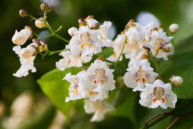 Catalpa bignonioides bloemen, als zuidelijke catalpa ook worden bekend die stock afbeeldingen