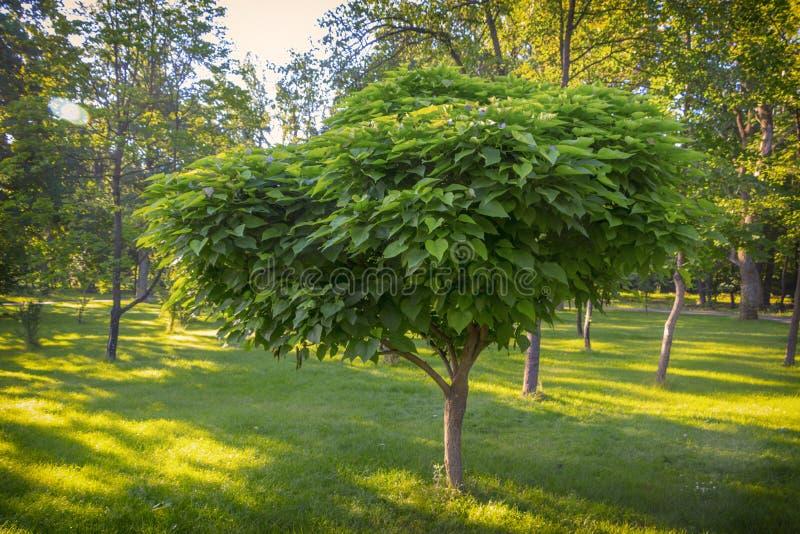 Catalpa com uma coroa bonita na grama verde sobre no dia de verão fotos de stock royalty free