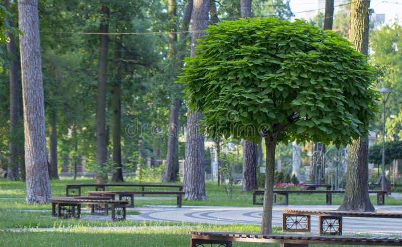 Catalpa med en härlig krona på det gröna gräset på i sommardag arkivbilder