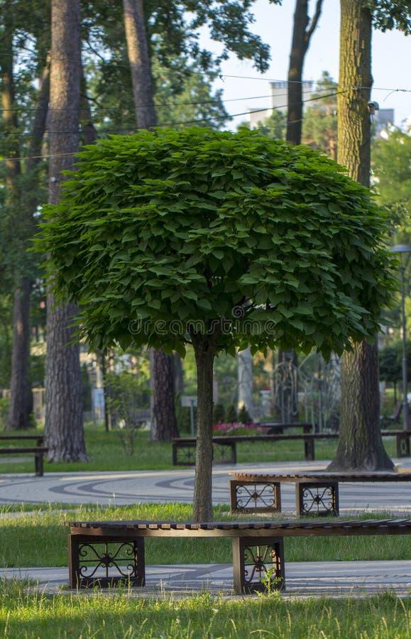 Catalpa med en härlig krona på det gröna gräset på i sommardag fotografering för bildbyråer
