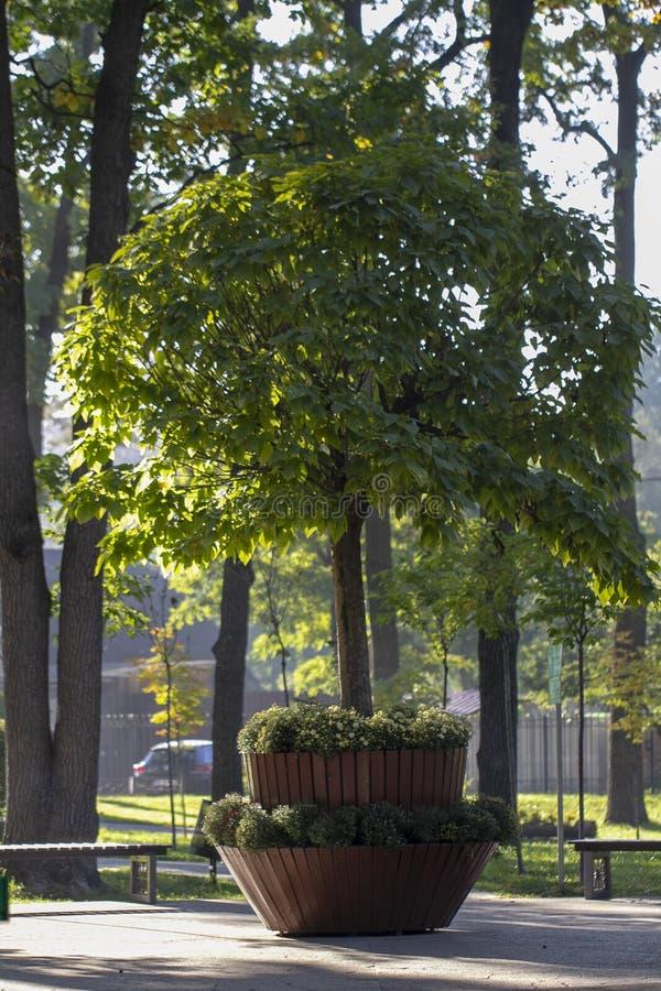 Catalpa med en härlig krona på det gröna gräset på i sommardag arkivbild
