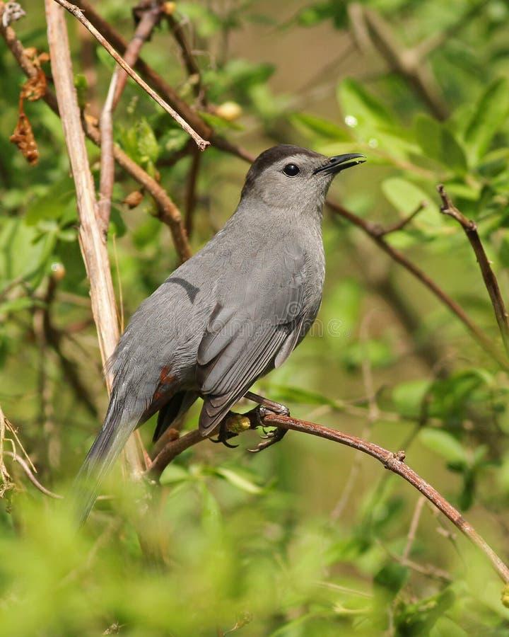 Catbird grigio fotografia stock