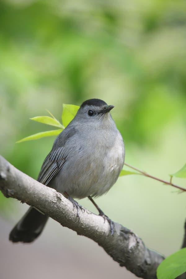 Catbird grigio sul verticale della filiale immagini stock