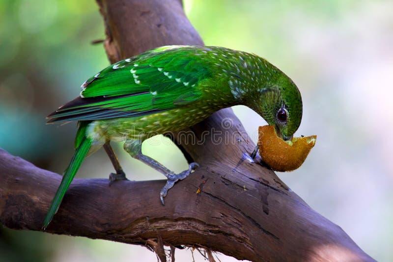 Catbird verde che mangia frutta immagine stock libera da diritti
