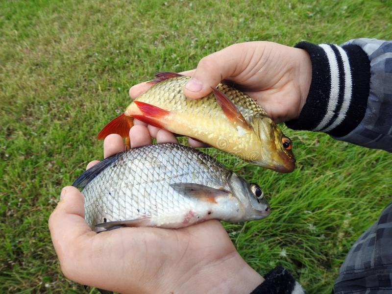 Catch beautiful small fish in man hand , Lithuania stock images