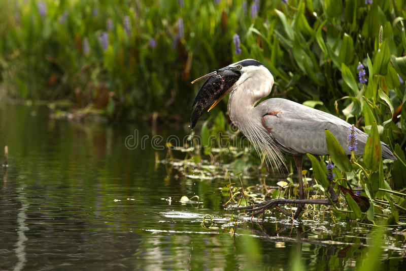 Catch of the Day. Great Blue Heron (Ardea herodias) that has caught a Tautog (Tautoga onilis) fish royalty free stock image