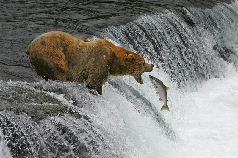 Download Catch Of The Day stock photo. Image of salmon, river, brown - 5286642