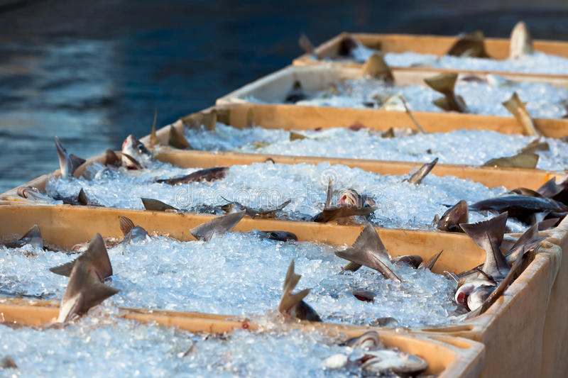 Catch of the day - Fresh Fish in Shipping Containers. Horizontal shot stock image