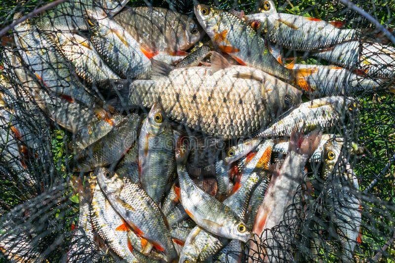 Catch of fish in net basket on green grass by the river. Many roaches on fishing net. Fishing concept, good catch. Fresh fish royalty free stock photography