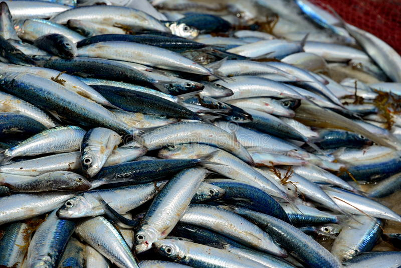 Download Catch of fresh sardines stock image. Image of fishing - 26505505