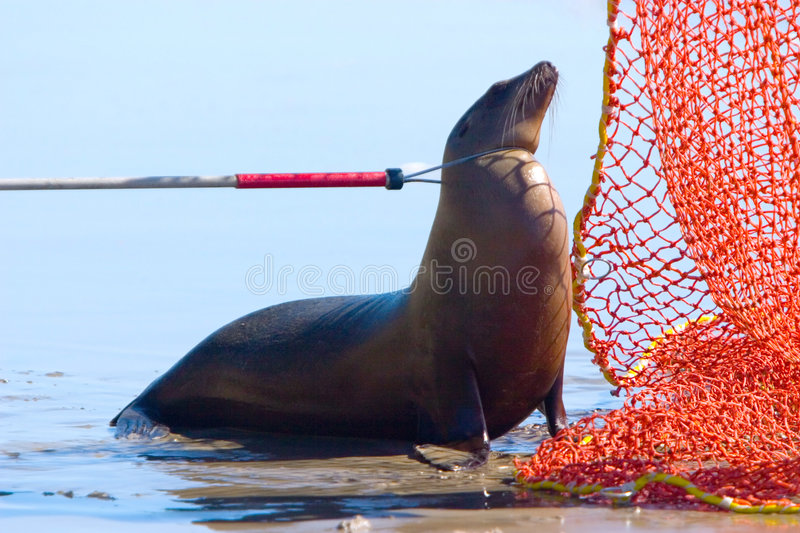 Download Catch pole on Harbour Seal stock image. Image of trap - 1765985
