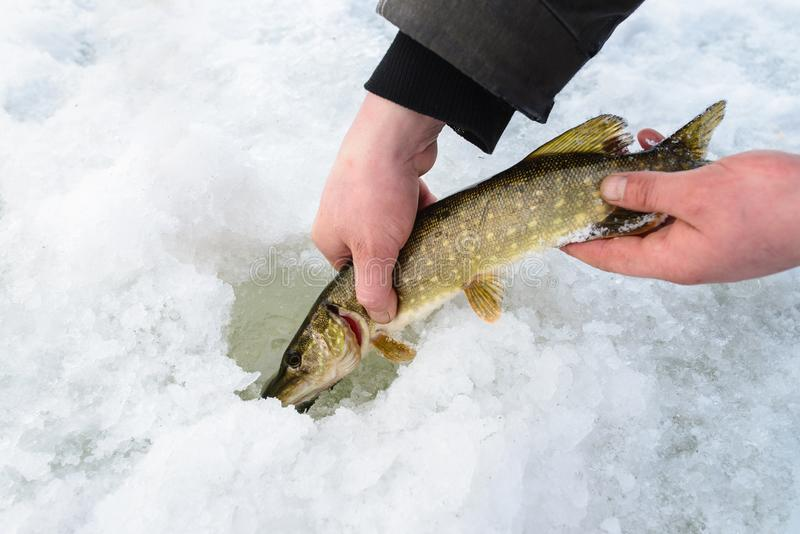 Catch and release small pike rule under winter fishing. Fisherman hands releasing fish into ice hole, closeup. stock image
