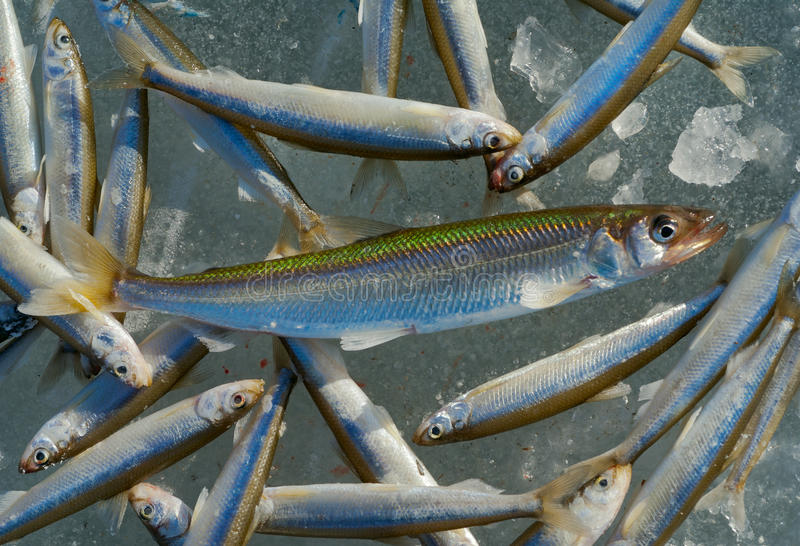 Download Catch on winter fishing 5 stock photo. Image of frozen - 23440304