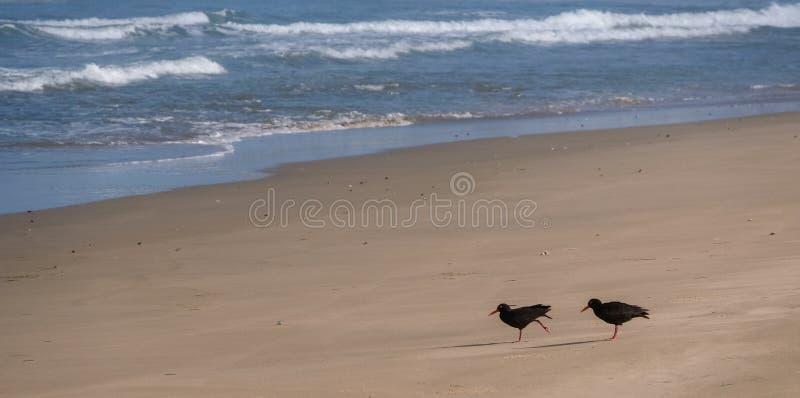 Catcher στρειδιών πουλιά στην παραλία στο Catcher στρειδιών ίχνος κοντά στον  στοκ φωτογραφίες με δικαίωμα ελεύθερης χρήσης