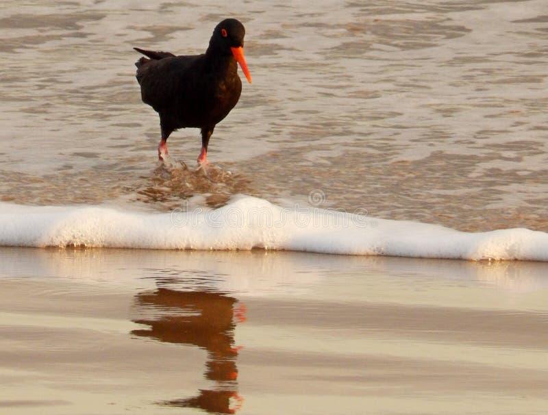 Catcher στρειδιών στην παραλία στοκ εικόνα