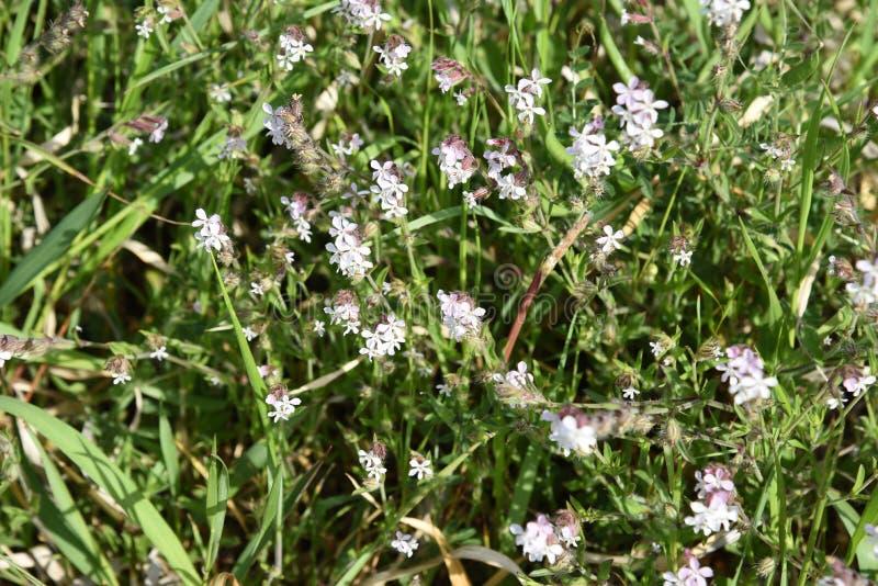 catchfly Небольш-цветка стоковые изображения