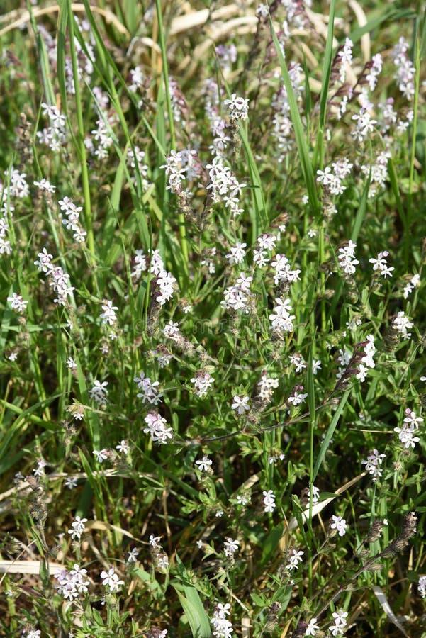 catchfly Небольш-цветка стоковые фотографии rf