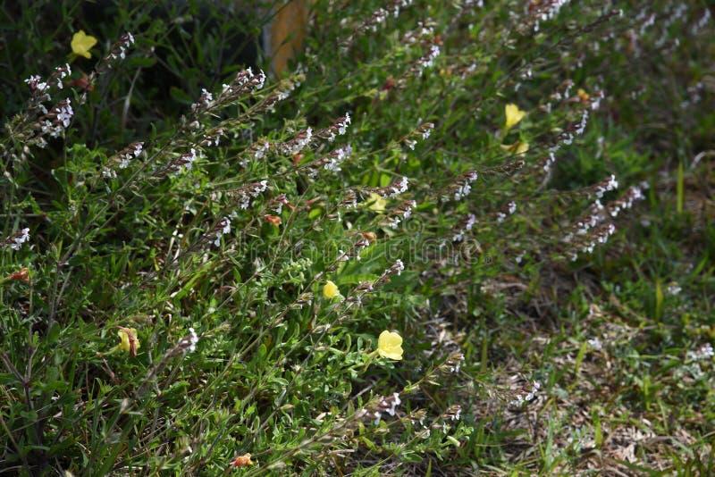 catchfly Небольш-цветка стоковая фотография rf