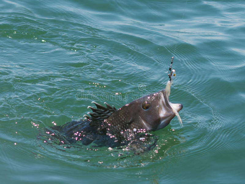 Catching a Black Bass. While fishing on the water stock photos