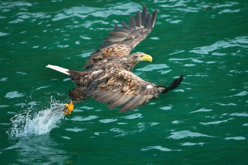 Catching the pray. Sea eagle landing nose diving and catching a fish, haddock or pollock or salmon, at Lofoten Islands Norwegian polar circle stock photos