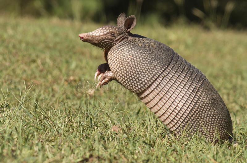 Catching A Scent. A Texas Armadillo Dasypus novemcinctus smelling the air trying to catch a scent royalty free stock images