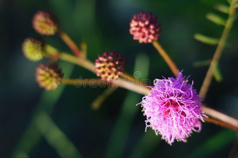 Catclaw-Brier - Mimose nuttallii stockfotografie