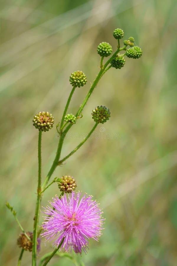 Catclaw-Brier - Mimose nuttallii lizenzfreie stockfotos