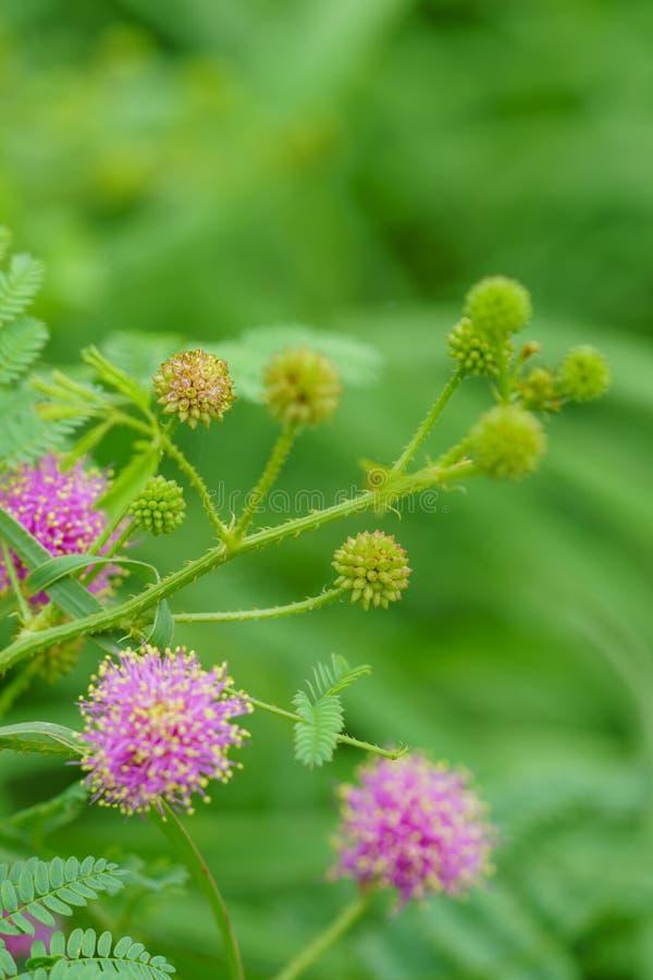 Catclaw-Brier - Mimose nuttallii lizenzfreie stockbilder