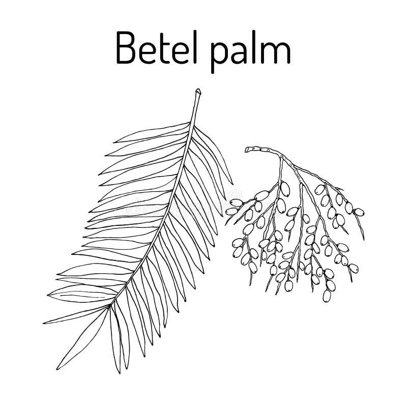 Catechu de la areca de la palma de betel, o nuez india stock de ilustración