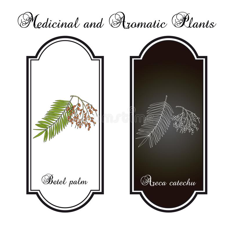 Catechu de la areca de la palma de betel, o nuez india, planta medicinal libre illustration