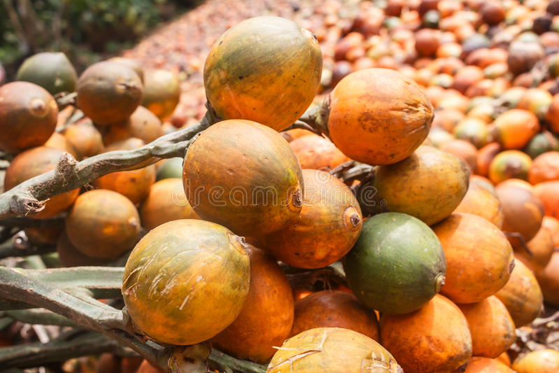 Catechu de noix de bétel ou d'arec photographie stock