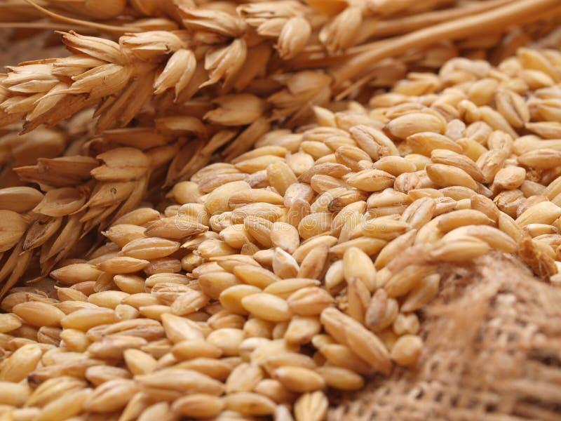 Grões do trigo imagem de stock royalty free