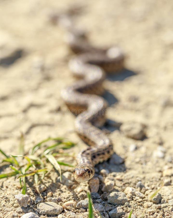 Catenifer Pacifique de catenifer de Pituophis de serpent de Gopher rampant à travers un sentier de randonnée images libres de droits