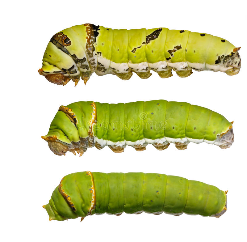 Catepillars of lime Butterfly ( papilio demoleus ). On white royalty free stock image