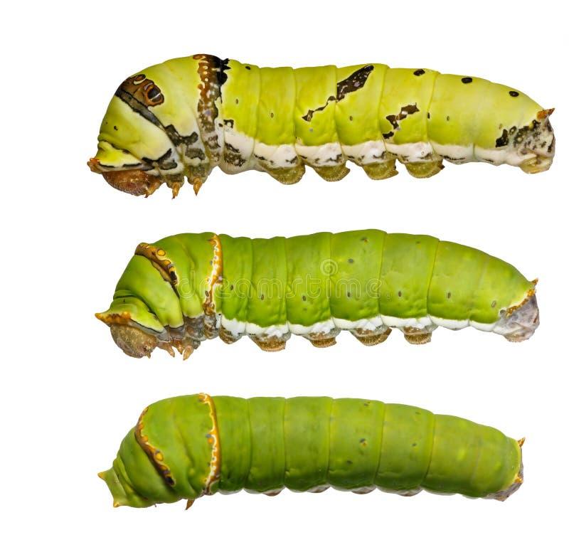 Catepillars van kalkvlinder (papiliodemoleus) royalty-vrije stock afbeelding