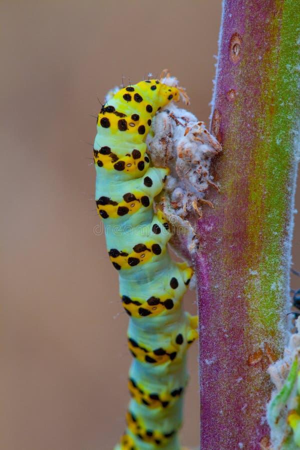 Caterpillar σε έναν κλάδο εγκαταστάσεων Μακρο φωτογραφία στοκ εικόνες