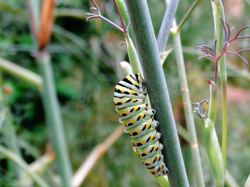 Caterpillar της μαύρης πεταλούδας Swallowtail στοκ φωτογραφία με δικαίωμα ελεύθερης χρήσης
