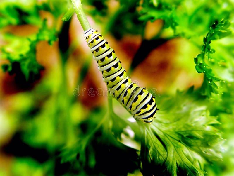 Download Caterpillar stock image. Image of larva, closeup, parsley - 10461